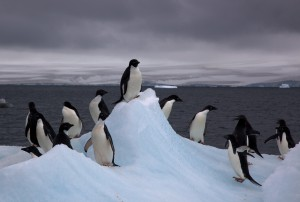 Adelie_Penguins_on_iceberg-1